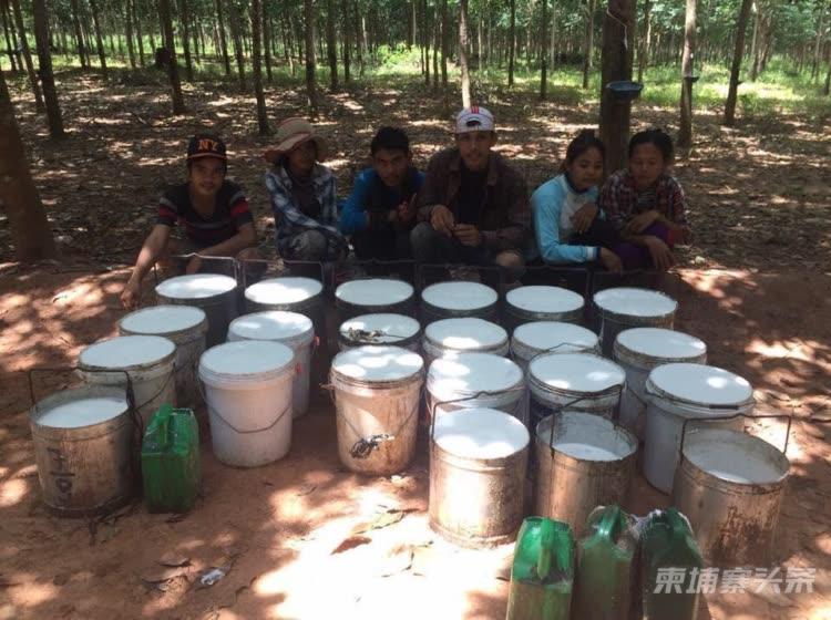 泰国增加橡胶出口将影响柬埔寨橡胶价格和产量